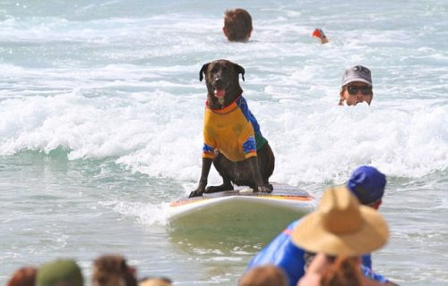 Cachorro surfando sozinho. (Foto: Divulgação / Noosa Festival of Surfing)