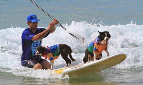 Cachorros participam de maior festival de surfe do mundo. (Foto: Divulgação / Noosa Festival of Surfing)