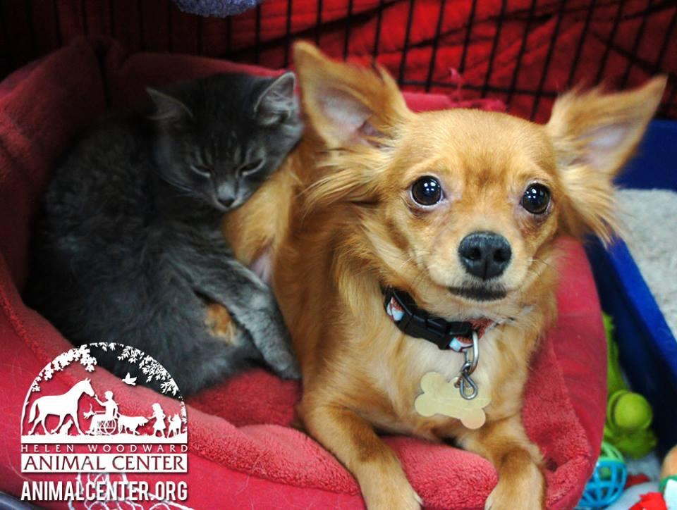 A chihuahua Beignet salvou o gatinho Gumbo. (Foto: Reprodução / Facebook / Helen Woodward Animal Center)
