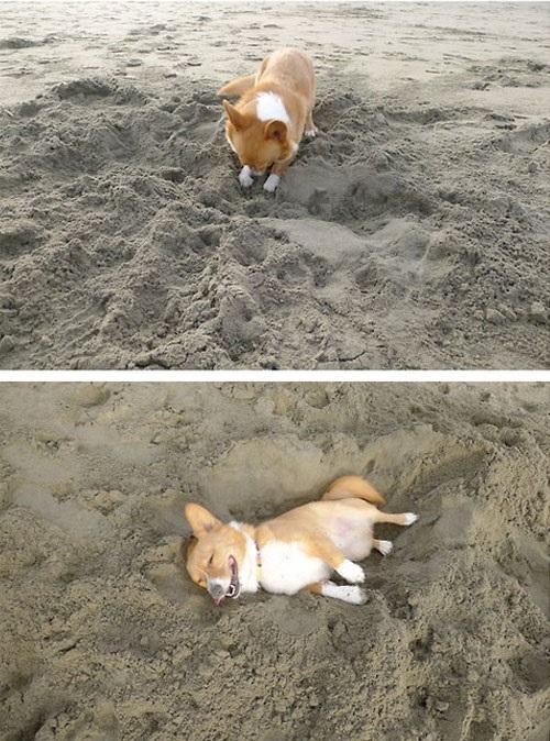 corgi-prepara-cama-areia