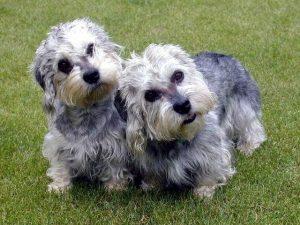 Dandie Dinmont Terrier (Foto: Reprodução / Google)