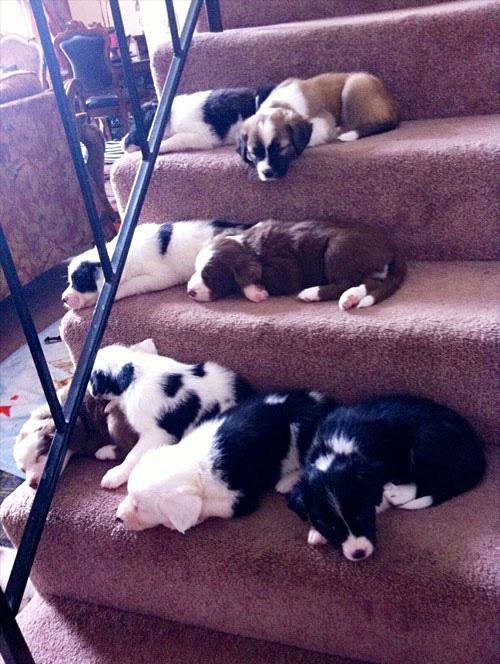 filhotes-cansados-escada