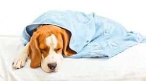 Hepatite Infecciosa Canina (HIC). Foto: Reprodução