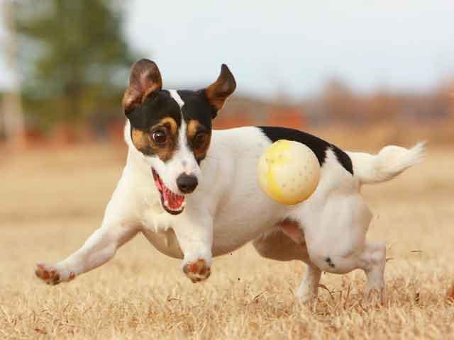 Jack Russel Terrier (Foto: Reprodução / Google)