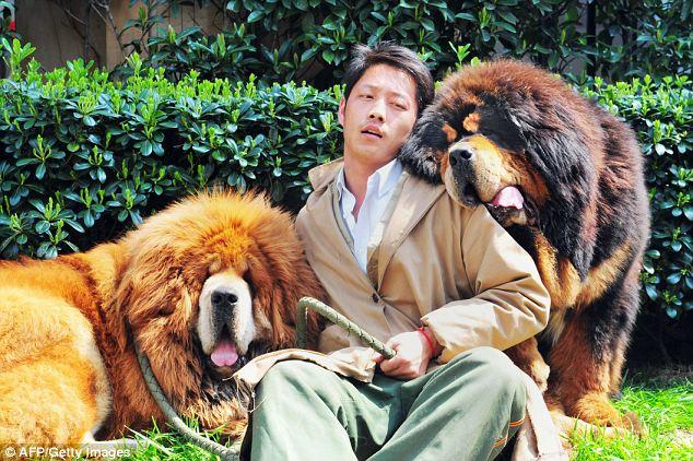 Modelo com o mastim tibetano mais caro (esqueda), que foi vendido por 4,6 milhões. E outro cão (direita) vendido por 2,3 milhões. (Foto: Reprodução / Daily Mail UK)
