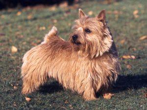 Norwich Terrier (Foto: Reprodução / Google)