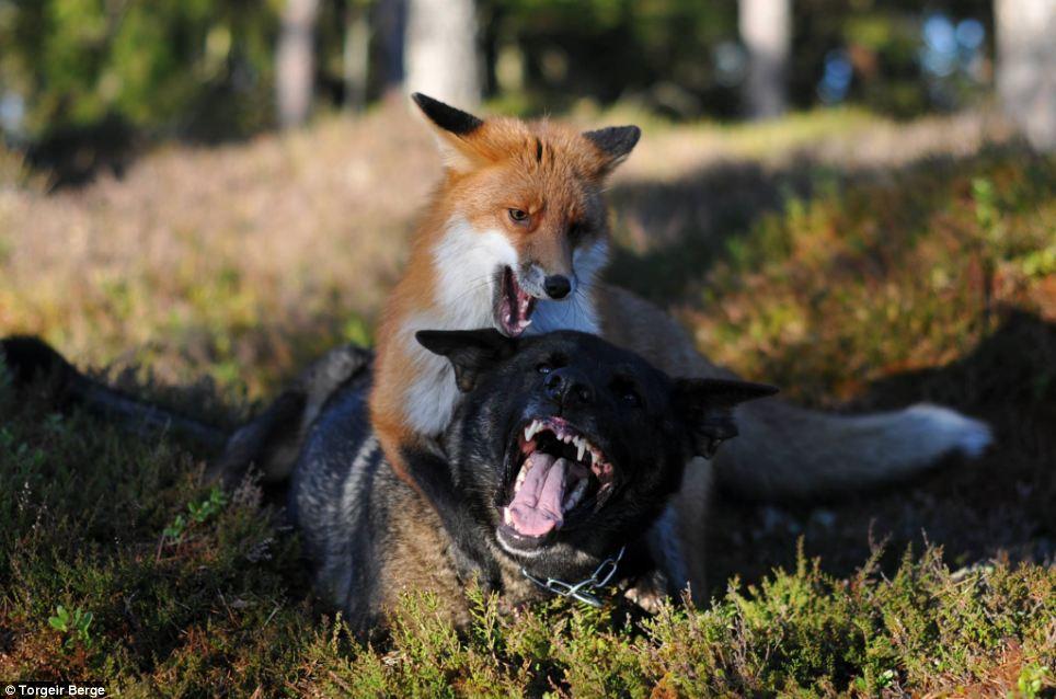 raposa-cachorro-livro-amizade-05