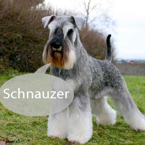 schnauzer