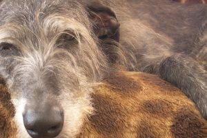 Síndrome da disfunção Cognitiva Canina. Foto: Reprodução