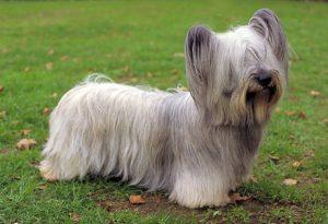 Skye Terrier (Foto: Reprodução / Google)