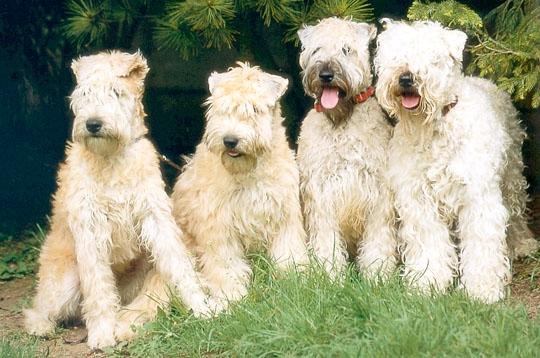 Soft Coated Wheaten Terrier (Foto: Reprodução / Google)