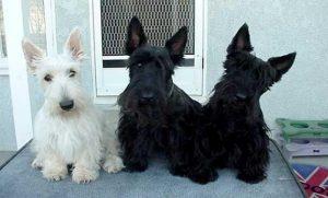 Terrier Escocês (Foto: Reprodução / Google)