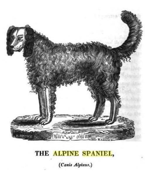 Alpine Spaniel (Foto: Reprodução / Pawnation)