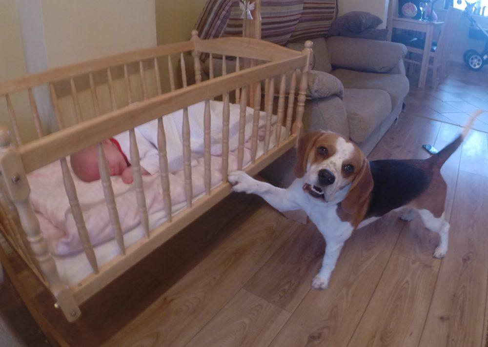 Beagle Coloca Beb 234 Para Dormir Em Ber 231 O De Balan 231 O