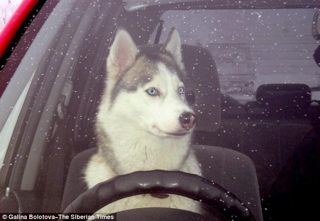 Cachorro causou acidente de carro. (Foto: Reprodução / Daily Mail uk)