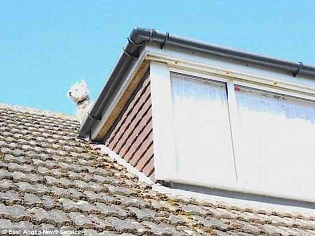 Whisky perseguia gaivotas quando subiu no telhado. (Foto: Reprodução / Daily Mail uk)
