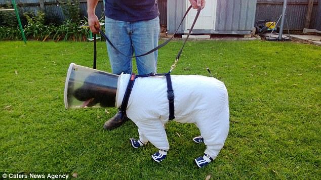 Bazz tem sua própria roupa de cão apicultor. (Foto: Reprodução / Daily Mail uk)
