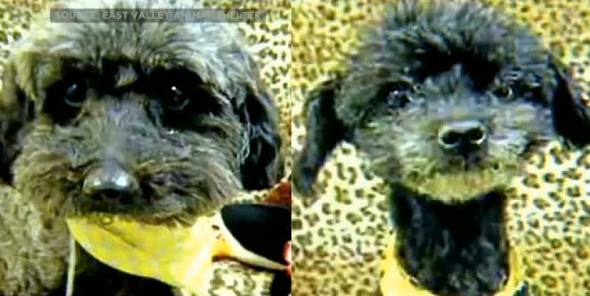Os cães Sorullo (esquerda) e Tulip (direita) foram abandonados no aeroporto. (Foto: Reprodução / CBS Los Angeles)