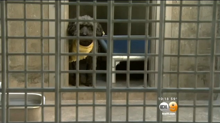 Sorullo está no abrigo, esperando para ser adotado. (Foto: Reprodução / CBS Los Angeles)