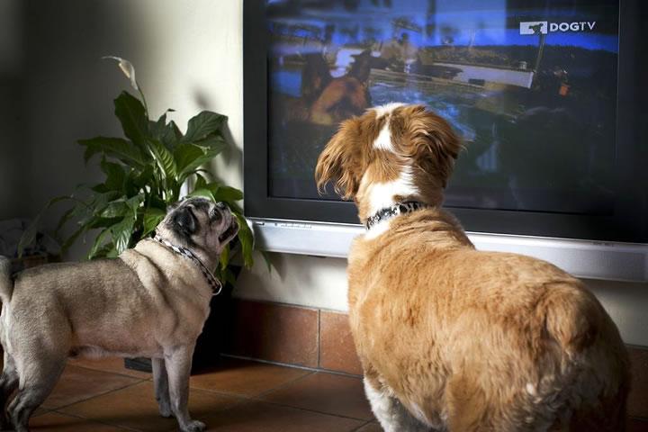 Os cachorros adoram assistir tv, mas eles enxergam da mesma maneira que os humanos? (Foto: Reprodução / Dog TV)