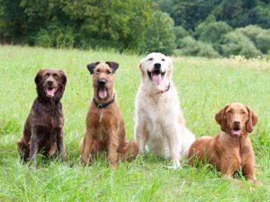 Os cães de raça são tão saudáveis quanto os vira-latas. (Foto: Reprodução / Google)