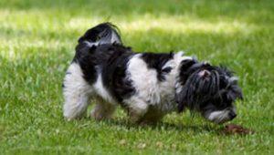 Coprofagia em cães. Foto: Reprodução