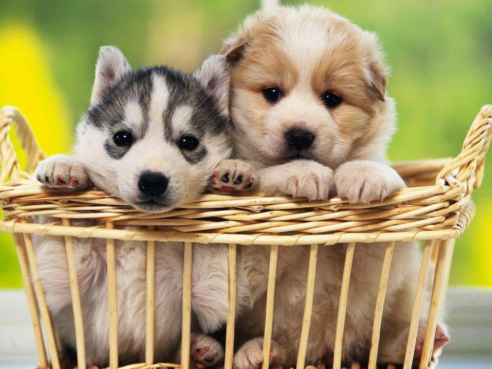 d461ee65fb785b 18 curiosidades sobre cachorros - Portal do Dog