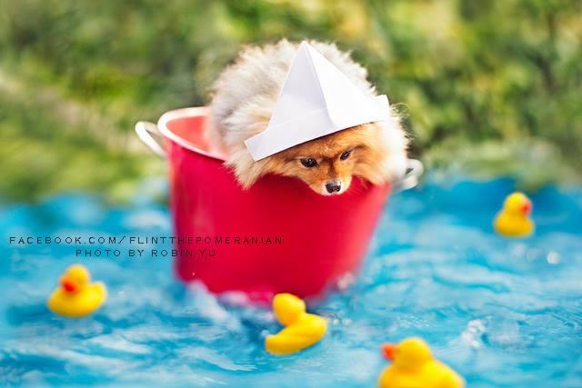 flint-lulu-pomerania-cachorro-fotografias-01