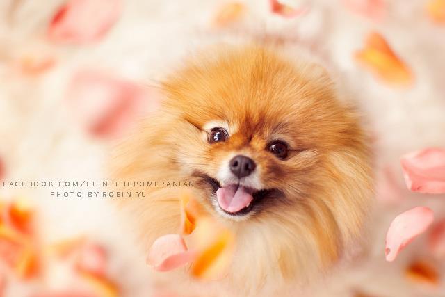 flint-lulu-pomerania-cachorro-fotografias-03