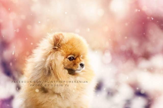 flint-lulu-pomerania-cachorro-fotografias-05