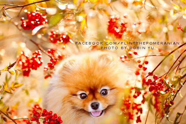 flint-lulu-pomerania-cachorro-fotografias-06