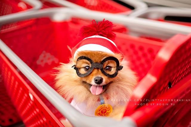 flint-lulu-pomerania-cachorro-fotografias-08