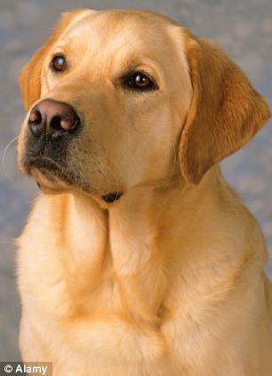 Labrador é testemunha de crime. (Foto: Reprodução / Daily Mail UK)