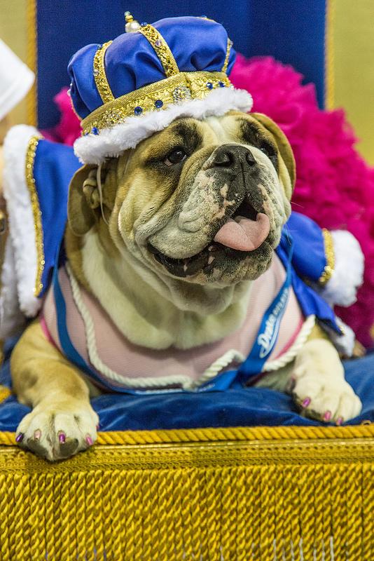 Lucey venceu o concurso e foi coroada como a buldogue mais bonita. (Foto: Divulgação / flickr / Drake University)