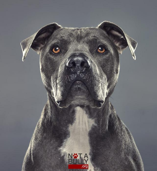 pit-bull-notabully-projeto-fotografia-03