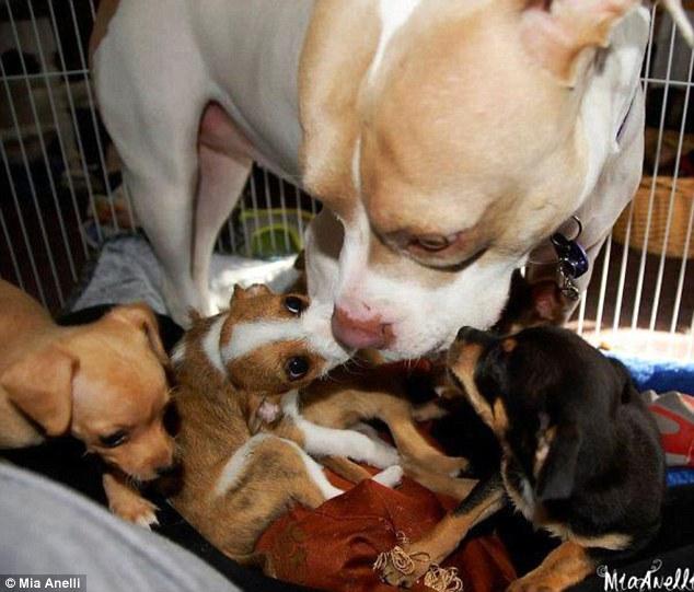A cachorra Cher é muito carinhosa com os filhotinhos. (Foto: Reprodução / Daily Mail uk)