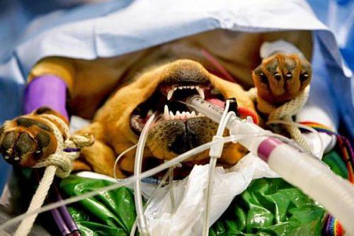 Anestesia em cães. Foto: Reprodução