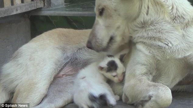 A cachorra Tiger adotou a gatinha Tulip. (Foto: Reprodução / Daily Mail uk)
