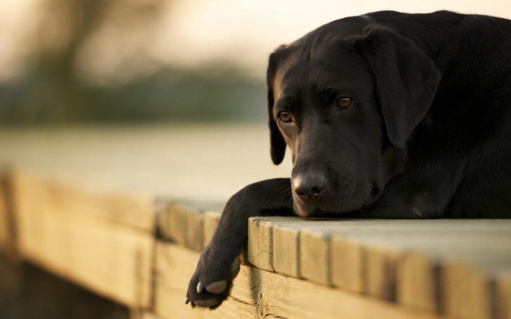 Leucemia em cachorros. Foto: Reprodução