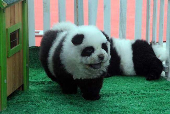 O cachorro-panda faz sucesso na China. (Foto: Reprodução / Metro UK)