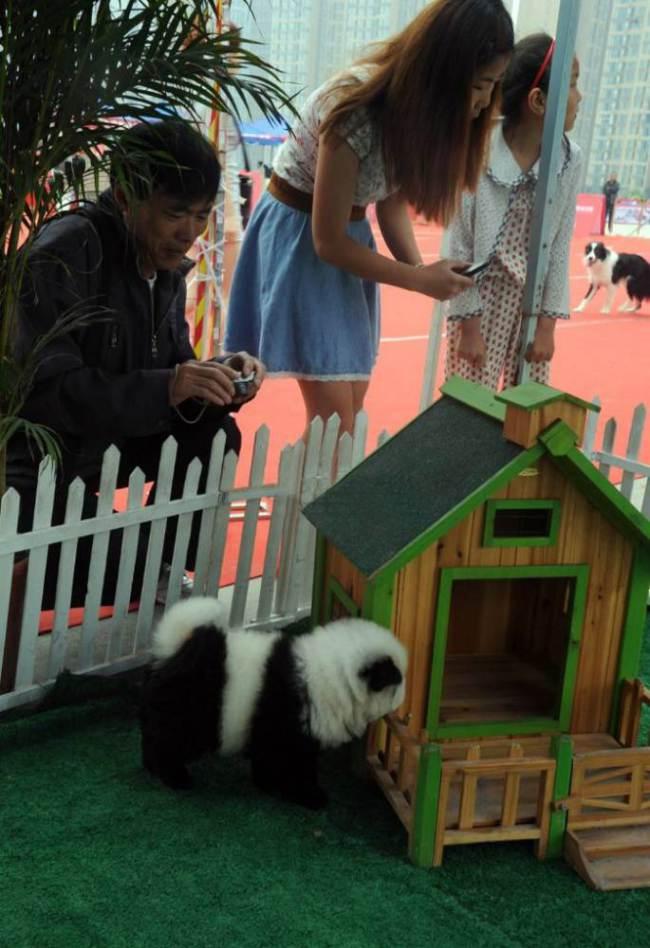 Todos querem um cachorro-panda na China. (Foto: Reprodução / Metro UK)