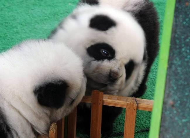 São cachorros da raça chow chow, que recebem tosa e tintura. (Foto: Reprodução / Metro UK)