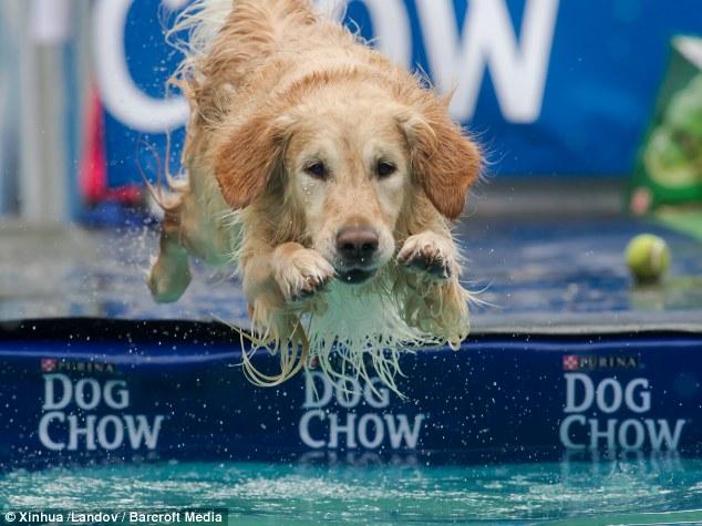 Cachorro durante competição de mergulho. (Foto: Reprodução / Daily Mail UK)