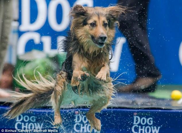 Cão pulando na piscina durante competição. (Foto: Reprodução / Daily Mail UK)