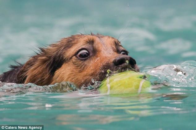 Cachorro nadando com bolinha na boca. (Foto: Reprodução / Daily Mail UK)