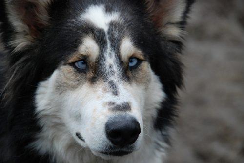 Estrabismo em cães. Foto: Reprodução