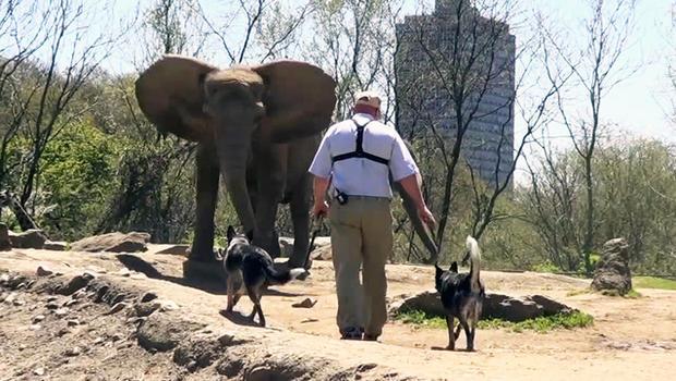 Dois cachorros pastoreiam elefantes no Zoológico de PIttsburgh. (Foto: Reprodução / CBS News)