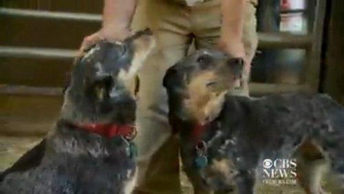 Os cães recebendo o carinho de Willie. (Foto: Reprodução / CBS News)