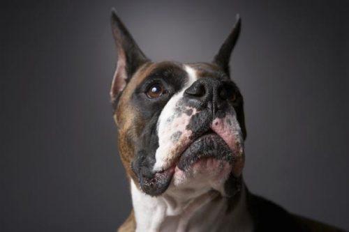 Criptorcadia em cães. Foto: Reprodução