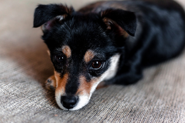 como diagnosticar diabetes en cachorro comendo